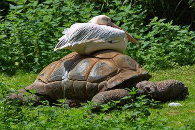 Pelikan auf Schildkröte