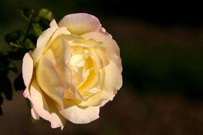 Prager Rose
