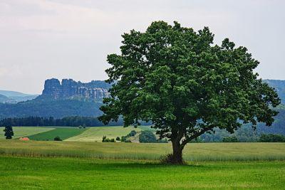 Baum vor Schrammsteinen