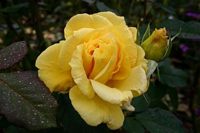 gelbe Rose in München